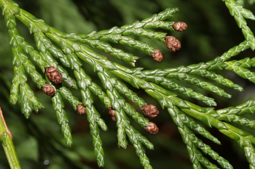 Chamaecyparis lawsoniana 2