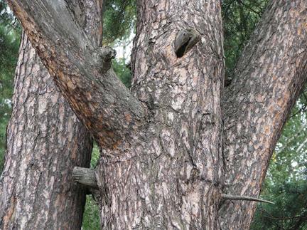 pinheirodecasquinha