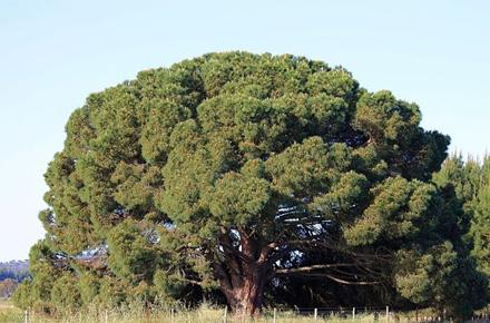 pinheiromanso1