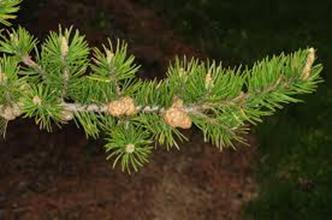Pinus banksiana1