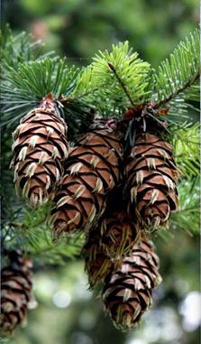 Pinheiro-do-Oregon2