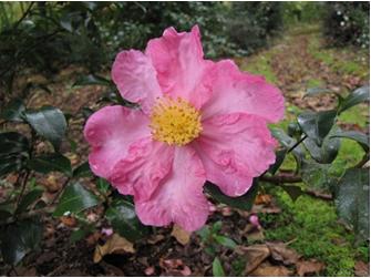 Camellia-sasanqua-2