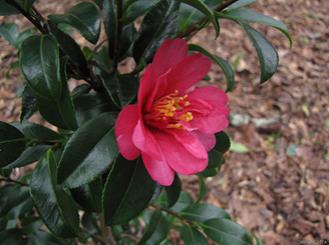 Camellia-sasanqua3