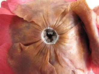 Camellia-sasanqua4