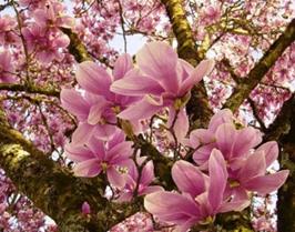 Magnolia6